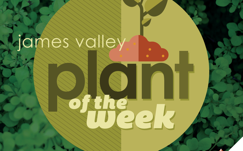 thumbnail image for blog post: Evergreen Plant of the Week