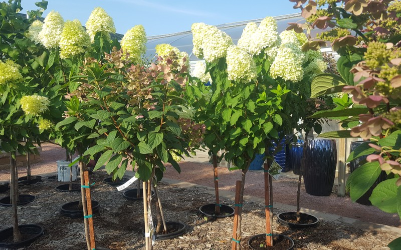thumbnail image for blog post: Hydrangea Plant of the Week Sale